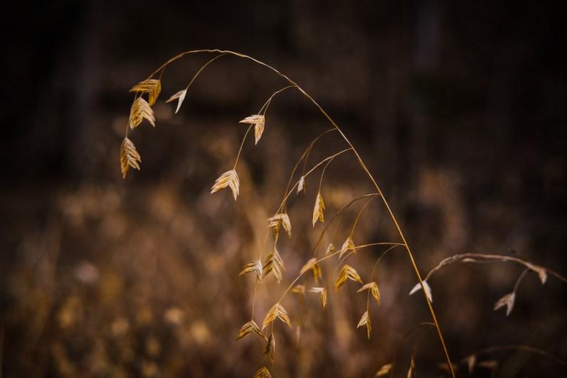 Wild Oats (Chasmanthium latifolium). Copyright © 2018 Gary Allman, all rights reserved.