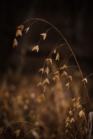 Wild Oats (Chasmanthium latifolium).