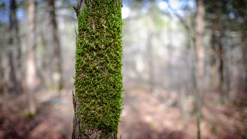 Moss on a tree. Copyright © 2018 Gary Allman, all rights reserved.