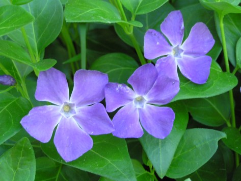 common periwinkle, takes over like depression in the grief process