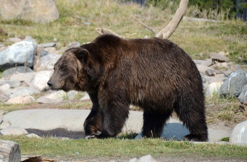 Grizzly Montana
