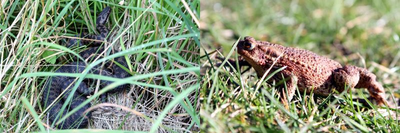 Adder and common toad at Branton Nature Conservation Area in the Breamish Valley