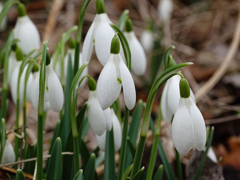 Breamish Valley snowdrops