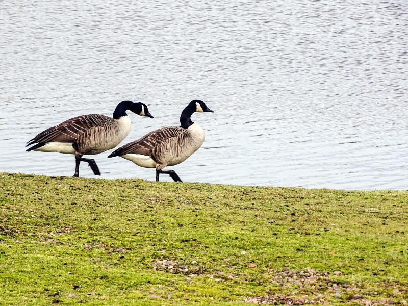 Canada Geese (DSC02859)