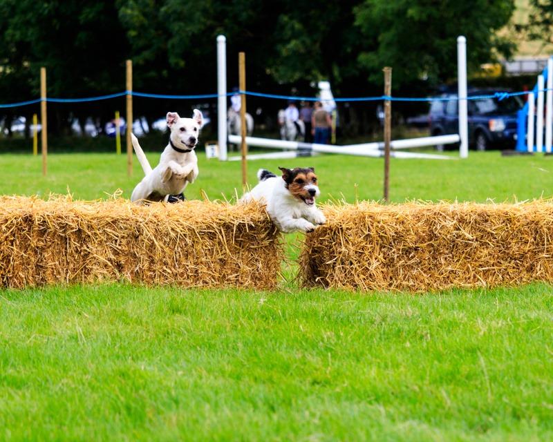 terrier-racing-ingram-show-2016-2