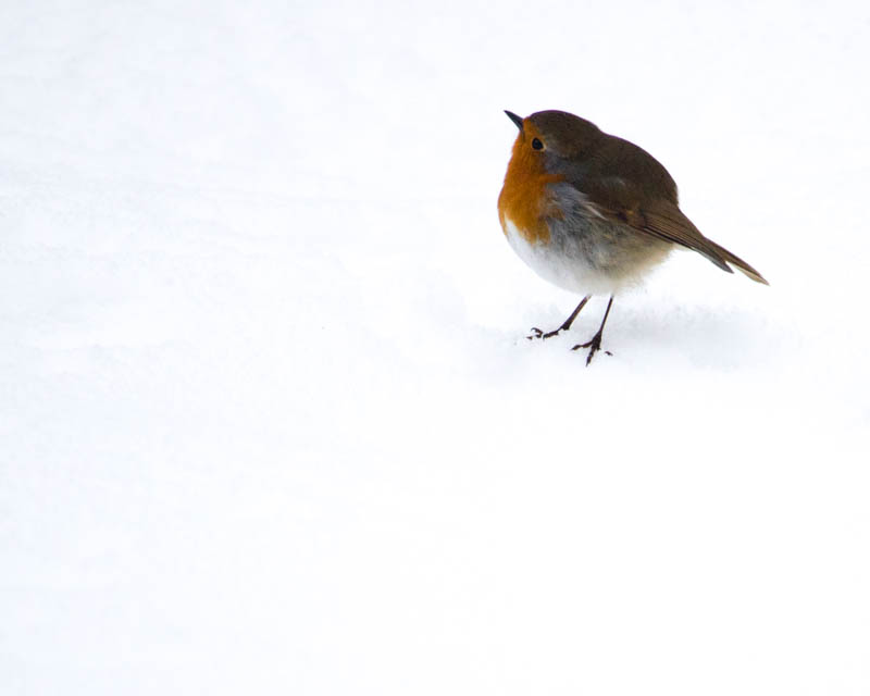 robin in snow cannon weather