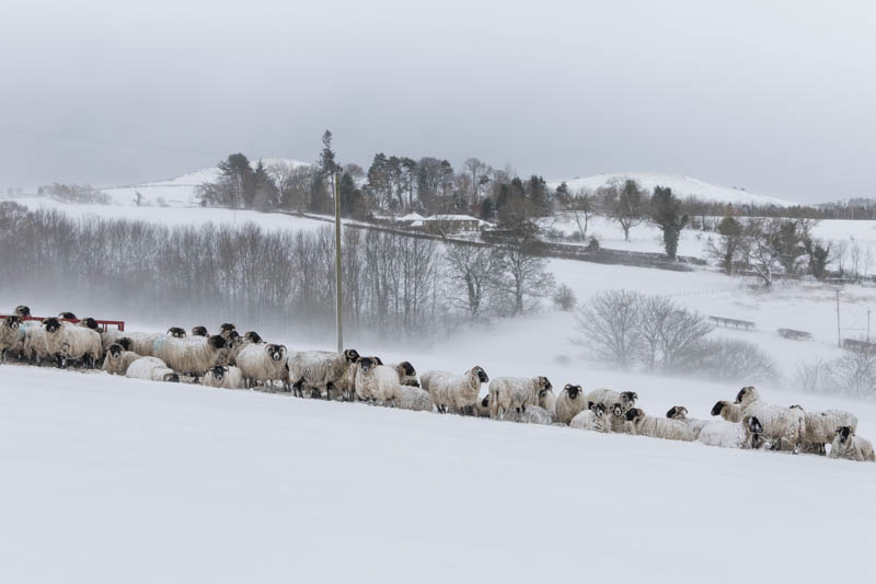 sheep at Powburn