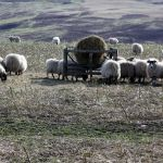 Sheep and fodder