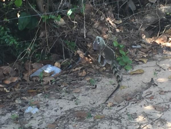 Segunda Iguana que achei