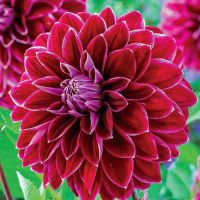 Purple Pearl Dinnerplate Dahlia