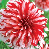 Santa Claus Dinnerplate Dahlia - Red and White Dinnerplate ...