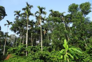 coffee-plantation-breedcafs-project