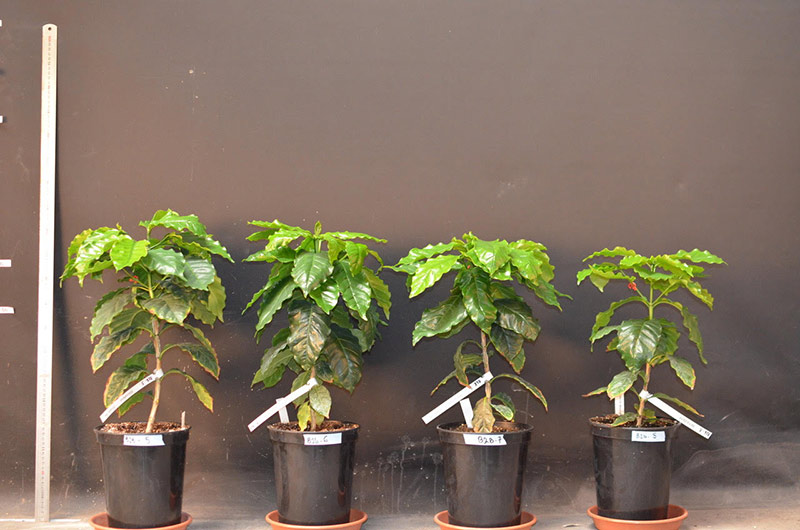 Breedcafs Lab: 4 plants of Marsellesa that are currently in the phytotrons