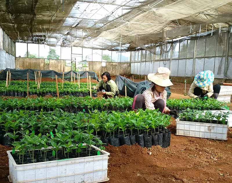 Breedcafs Starnaya-plants-transfered-from-AGI-to-NOMAFSI-Son-La