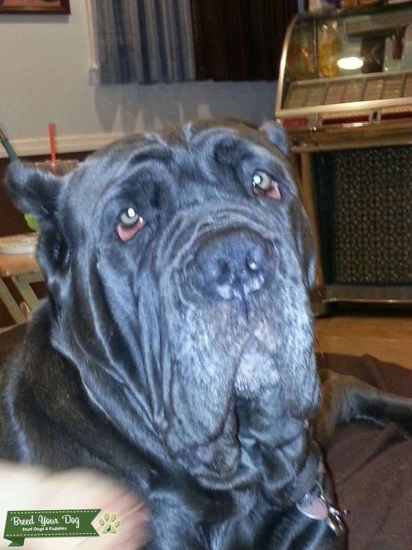 Stud Dog Mastiff Service Beautiful Merle - Year of Clean Water