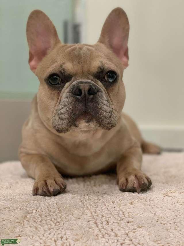 stud dog - fawn merle french bulldog - breed your dog