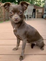chihuahua smooth haired stud