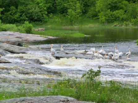 Pelikane auf Fischfang im Whitemouth River