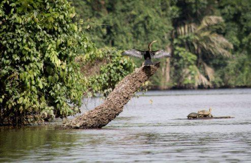 Costa Rica - Tortuguero Nationalpark Anhinga Turtle)