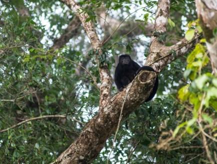 Costa Rica - Tortuguero Nationalpark - Bruellaffe