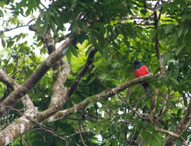 Costa Rica - Tortuguero Nationalpark - Roter Vogel