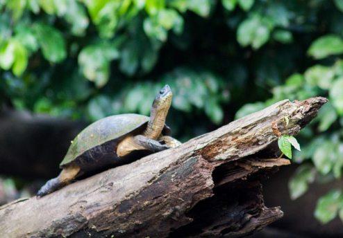 Costa Rica - Tortuguero Nationalpark - Schwarze Flussschildkroete