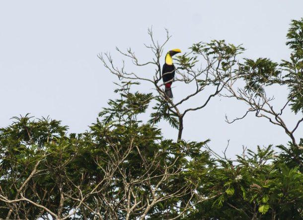 Costa Rica - Tortuguero Nationalpark - Tucan