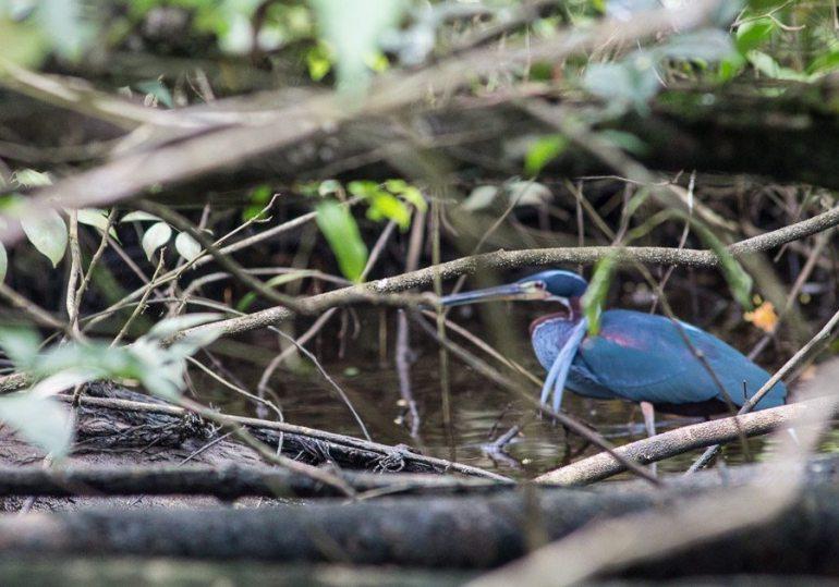 Costa Rica - Tortuguero Nationalpark - agami heron