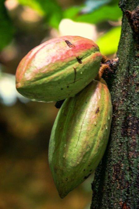 Kakao-Früchte, Foto Martin Cyris