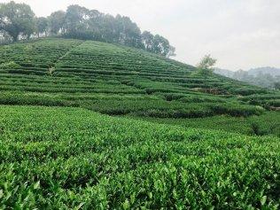 Hangzouh-Teeplantage-China-Reiseblog-Breitengrad53-Elisabeth-Konstantinidis-MG_2677