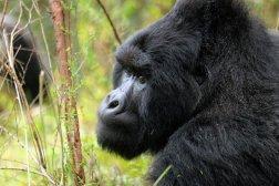 Uganda-Gorillas-Breitengrad53-Reiseblog-Jutta-Lemcke-SCF6104_korr1