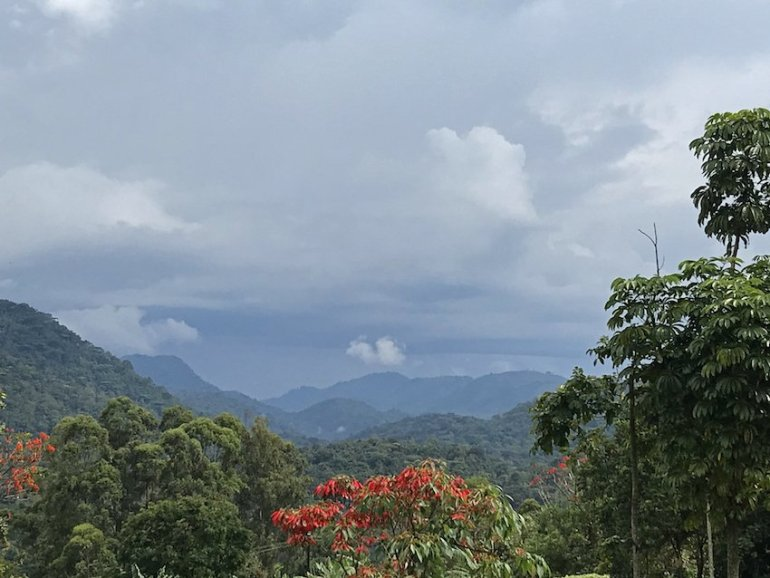 Urwald Uganda Gorilla