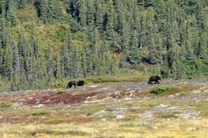 Die Fotos der Bären am letzten Sonntag wurden natürlich nicht bei uns aufgenommen. Sie stammen, wie auch dieses Foto, aus dem Grenzgebiet zwischen dem Yukon und Alaska.