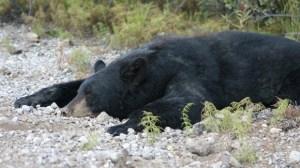 Per Betäubungspfeil wurde die Schwarzbärin Hatatitla kürzlich in Alaska gefangen. In der kommenden Woche soll sie im Teutoburger Wald ausgewildert werden.