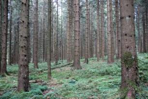 Ein Wald nur aus Fichten
