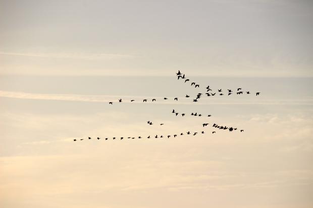 Zugvögel flogen über der Fähre