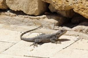 Ein Hardun ist eine kleine Echse, die man überall auf Zypern finden kann