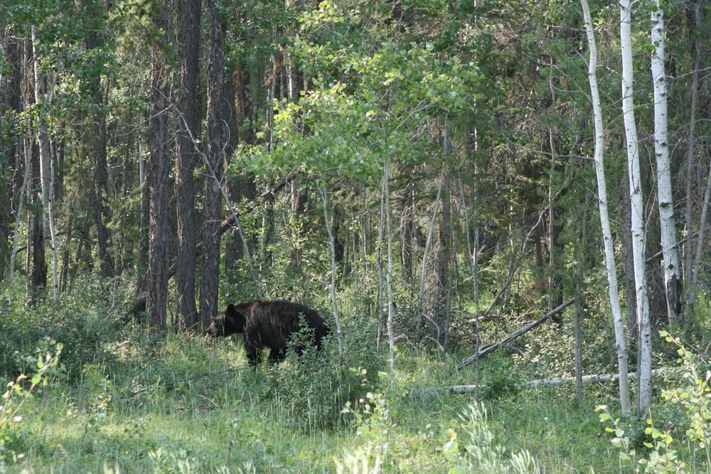 Im Wood-Buffalo-Nationalpark konnte ich diesen Schwarzbär fotografieren