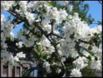 Image of tree blossom
