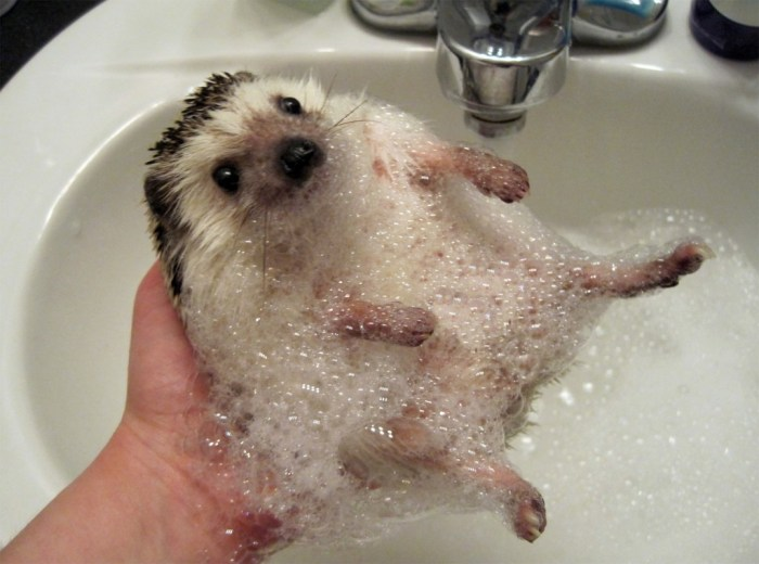 soapy hedgehog