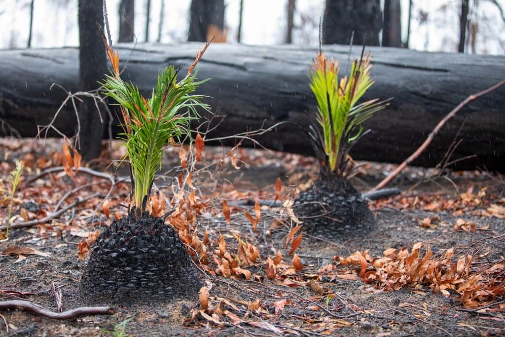 Ferns coming back after the 2020 bushfires