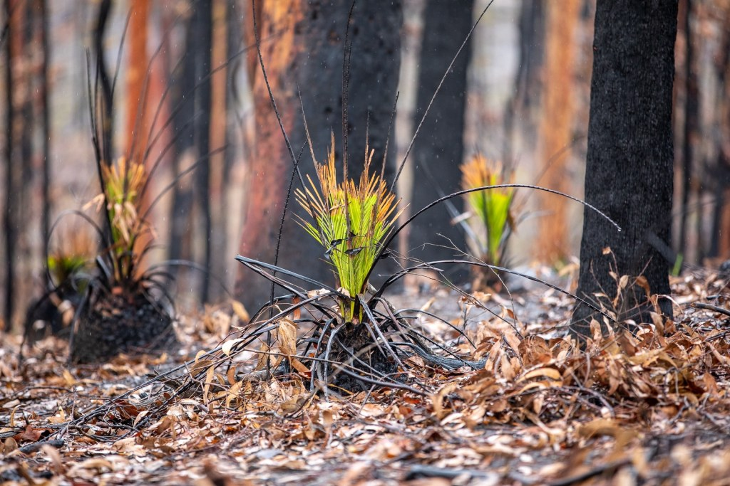 Ferns coming back after the 2020 bushfires