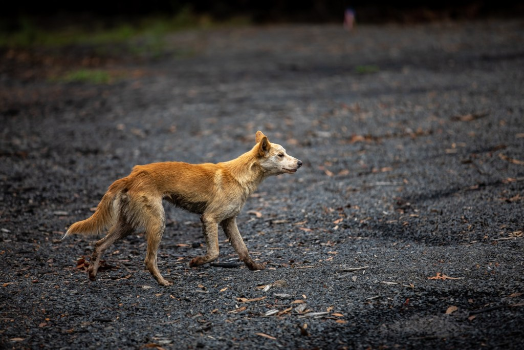 Feral Dog looking for prey after the Australian Bushfires