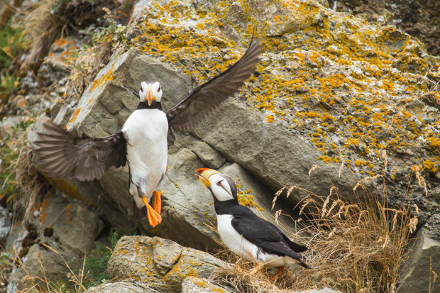 Flying Puffin_MG_5563