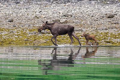 Alaskan Moose and Calf along the shore.