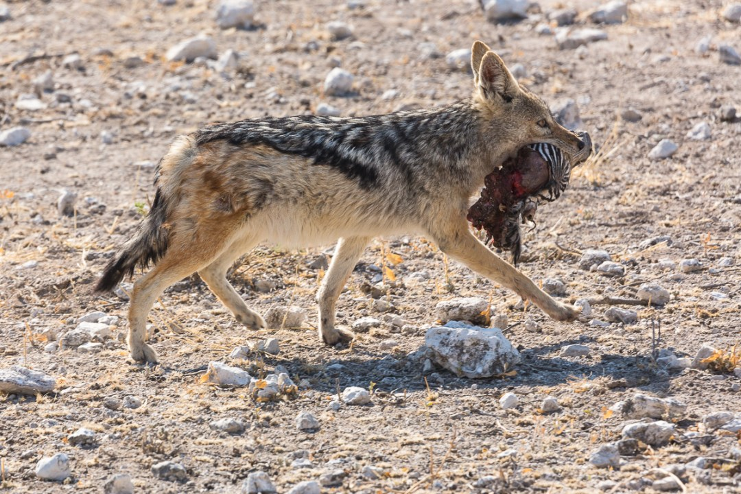 Jackal with piece of zebra in its mouth.