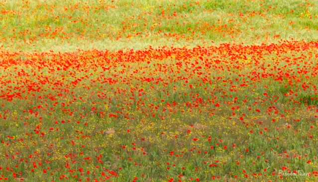 Poppies in Meadow, Italy.