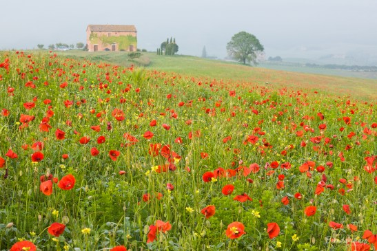 Poppies in Meadow,  Tuscany.