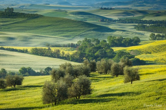 Lush green fields of hay and wild mustard bring color to the rolling hills in central Tuscany, Italy.