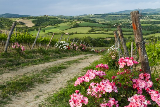 Roses line a road through vineyards.